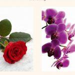 Mawar Merah atau Anggerik Ungu?