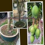 Pokok Mangga Dalam Pasu