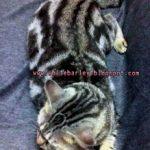 Dua Tiga Kucing Berlari, Mana Nak Sama Si Kucing Belang