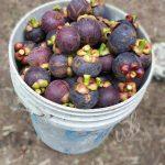 Makanlah Buah-buahan Tempatan